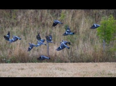 Ouverture 2012 aux pigeons - Chasse HD