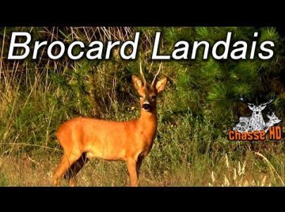 Chasse du Brocard à l'approche - Roe Buck Hunting - Landes France - Chasse HD