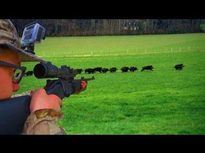 Battues de Sangliers au coeur de l'action - Chasse HD