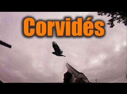 Grosse Chasse aux Corvidés - Mutli-Caméras - Chasse HD