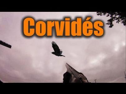 Chasse régulation des corvidés - Compilation tir - Chasse HD