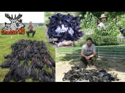 300 Corbeaux en 3 jours avec Mark Gilchrist - Chasse HD